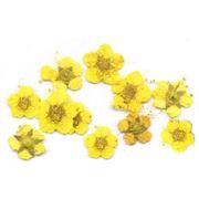 Сухоцветы в пакете Пятилистник желтый фото