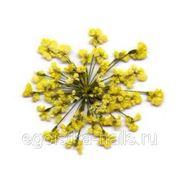 Сухоцветы салютики Желтые фото