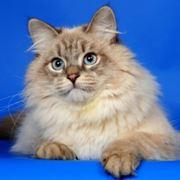 Вязка с невским маскарадным котом фото