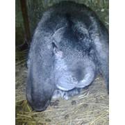 Кролики элитных пород Северо-Казахстанскоя обл. фото