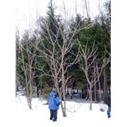 Лесопатологическое обследование, защита от вредителей леса фото