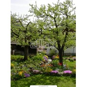 Обрезка веток деревьев Киев, услуги арбориста Киев фото