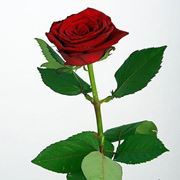 Роза Гран при фото