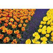 Цветы (тюльпаны) фото