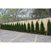 Посадка деревьев и кустарников с оголенной корневой системой фото