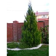 Посадка деревьев и кустарников с комом от 0,5 до 1 м фото