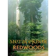 Метасеквоя Dawn Redwood фото
