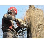 Обрезка и вывоз деревьев от 7000 руб фото