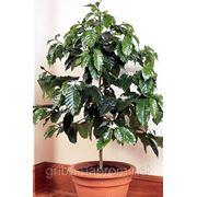 Семена кофейного дерева ARABICA!! + бесплатная доставка фото