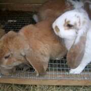 Кролики французкий баран фото
