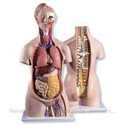 Анатомические модели и разборные мед. Пособия фото
