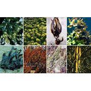 Обертывание «Комплексная маска с водорослями» фото