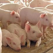 Продам свиней живым весом фото