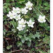 Белозор болотный. Перелойка (Panassia pflustris L. ) фото