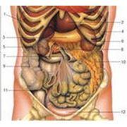 Ультразвуковое исследование органов брюшной полости и почек . фото