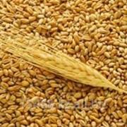 Оценка зерновых фото