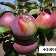 Флорина Саджанці яблоні фото