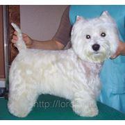 Стрижка собак - вест хайленд вайт терьер фото