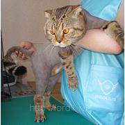 Стрижка кошек - модная фото