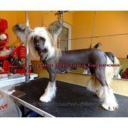 Депиляция голой китайской хохлатой собаки фото