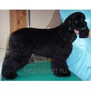 Стрижка собак - кокер-спаниель фото