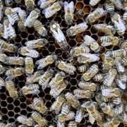Плодных пчеломатки Карпатка из Закарпатья фото