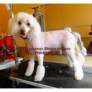 Стрижка голой китайской хохлатой собаки. фото