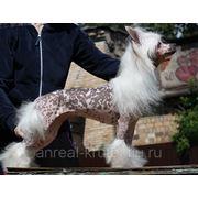 Груминг Китайских Хохлатых собак фото