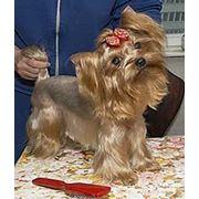 Стрижка собак в Самаре фото