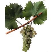 Виноград белых европейских сортов на вино. фото