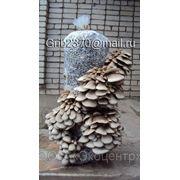 Выращивание грибов вешенка. Технология. фото