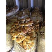 Технология выращивания экзотических грибов фото