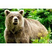 «Камчатская охота на бурого медведя» фото