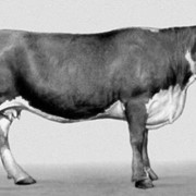 Скот крупный рогатый на убой фото