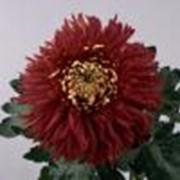 Хризантема John Riley фото