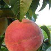 Саженцы персика сорт Кардинал фото