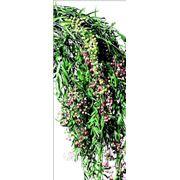 Пеппертри ветви с плодами фото