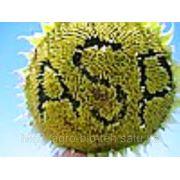 Семена подсолнечника АЛАМО F1 800грн/п.е. фото
