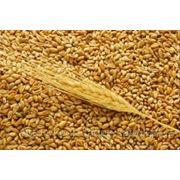 Пшеница- клейковина 28% фото