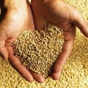 Кормовое зерно с доставкой по области фото