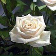 Роза Венделла фото
