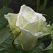 Роза Бьянка фото