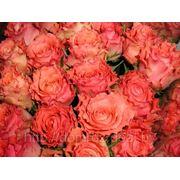 Роза Дуэт фото