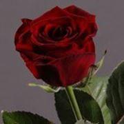 Роза Гранд При ( Rose Grand Prix) фото