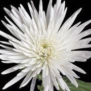 Хризантема Anastasia White фото