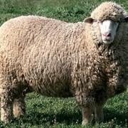 Овцы меринос фото