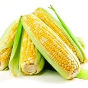 Продам семена кукурузы (гибрид) Космо 230 фото