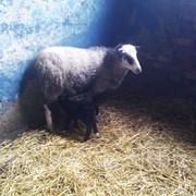 Овцы на развод фото
