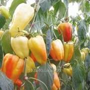 Семена, Перец сладкий, Барби F1, Syngenta упаковка 500 шт. фото