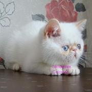 Экзотический котенок (ред-пойнт) фото